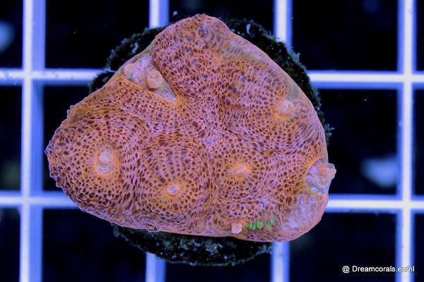 Echinophyllia sp. orange