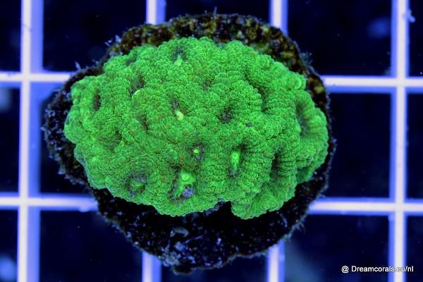 Favia sp. fluo green