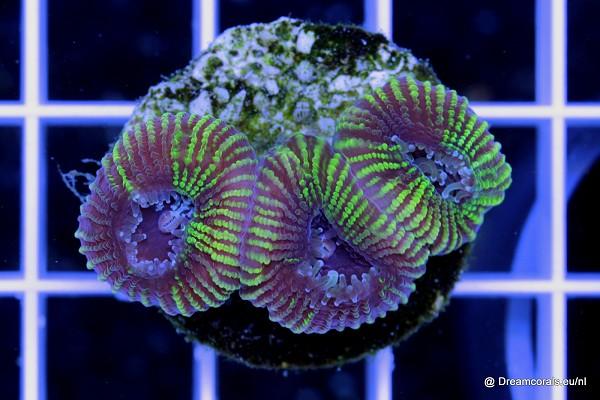 Favia sp. green (Fiji)