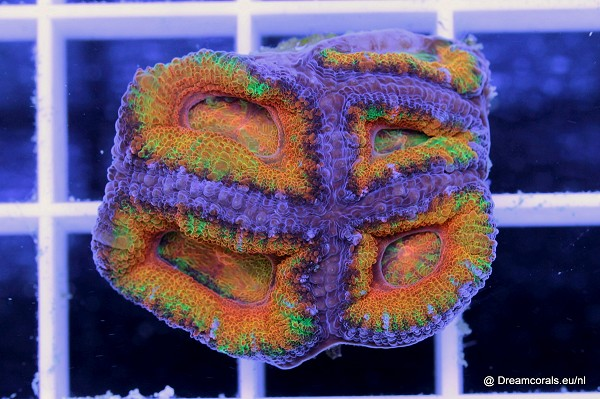 Acanthastrea lordhowensis ultra rainbow yellow