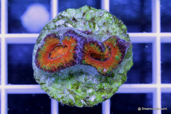 Acanthastrea lordhowensis ultra rainbow yellow
