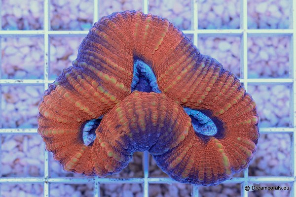 lobophyllia sp. red with blue eye