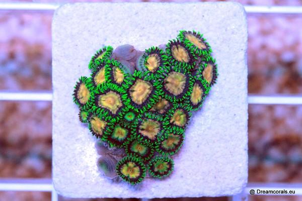 Zoanthus. ultra