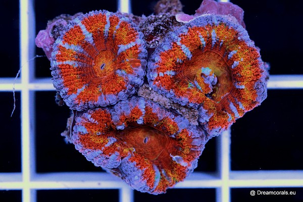 Acanthastrea lordhowensis. (rainbow)