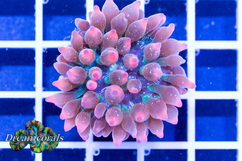 Ultra Speckled Rainbow Rose Bubble Tip Anemone
