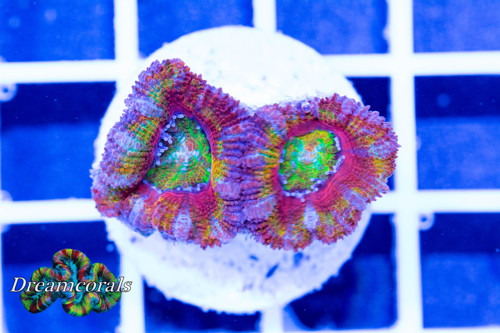 Acanthastrea rainbow premium colors