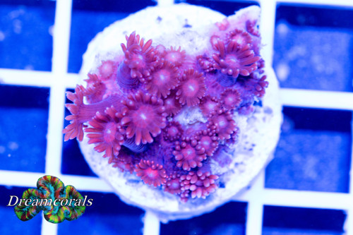 Goniopora Purple/red