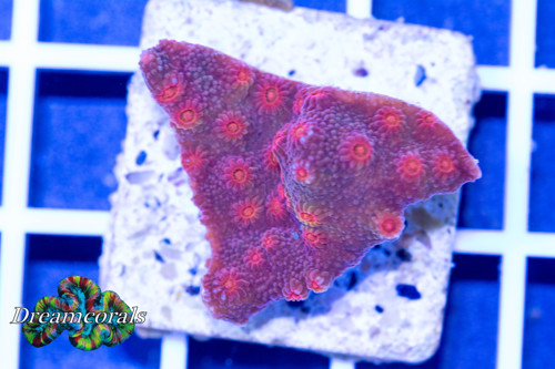Rainbow eye cyphastrea