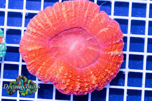 Toxic orange scolimia premium color