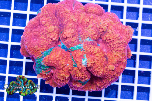 Rainbow acanthastrea bowerbanki bleeding apple xl