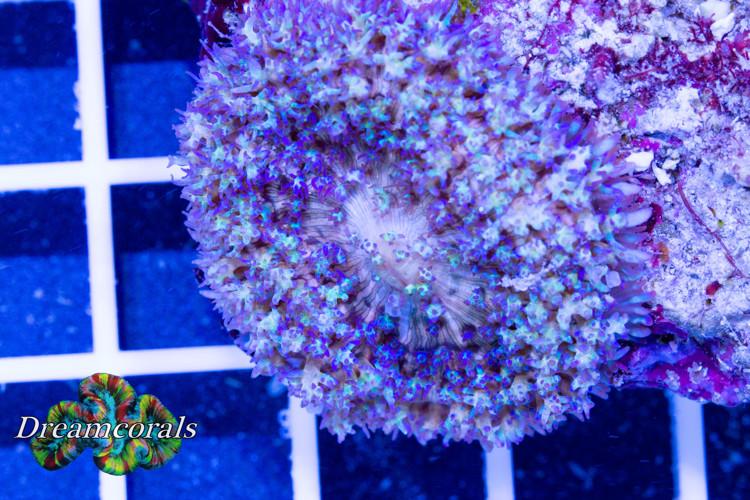Bubble bounce discusoma Blue (rare)