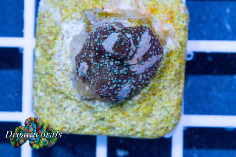 Black Flower discusoma (rare)