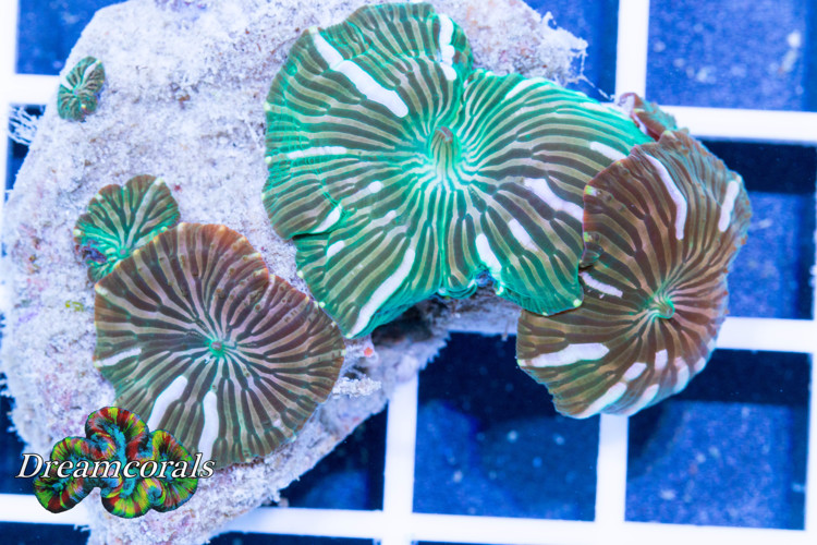 Green Flower discusoma