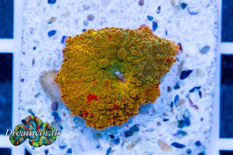 Eclectus Jawbreker discosoma