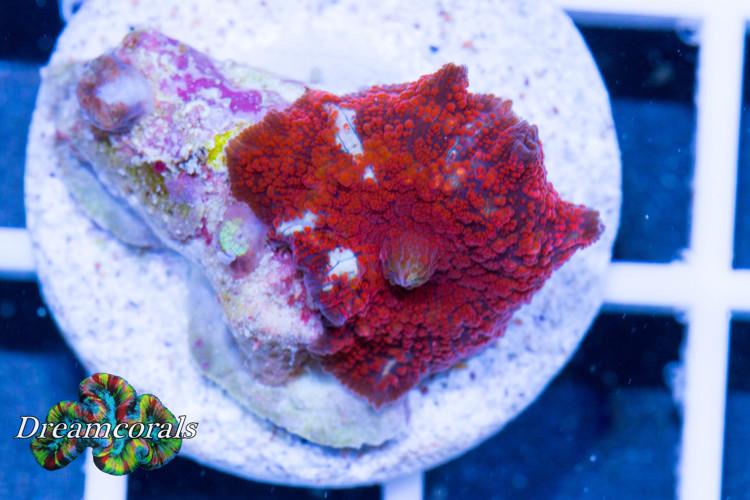 Red Flower discosoma