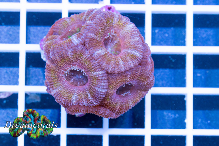 Acanthastrea lordhovensis