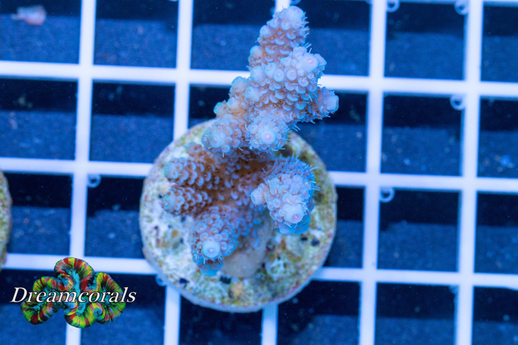 DC Blue Azure Miliopora (verry Rare)