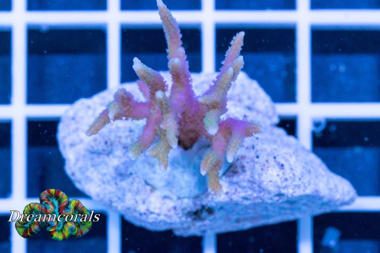Seriatopora Hystrix bicolor