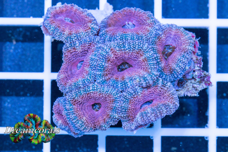 Pink Lady Acanthastrea