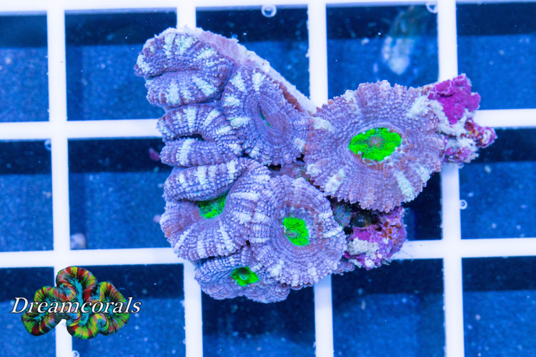 Acanthastrea lordhovensis Ultra