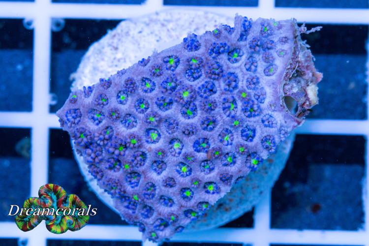 Goniopora Blue Premium Rare (long polyp)