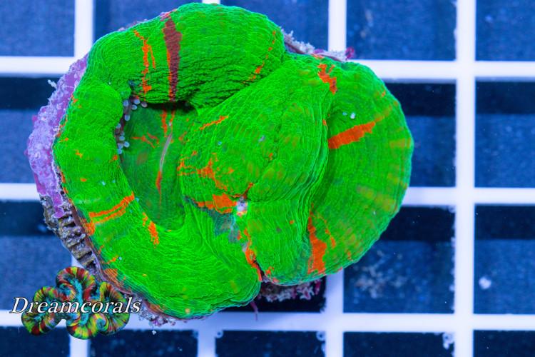 Scolimina premium color duo (collectors Item)