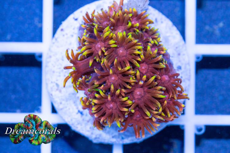 Goniopora premium Yellow Touch