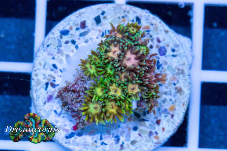 Goniopora premium Yellow-Pink (rare)