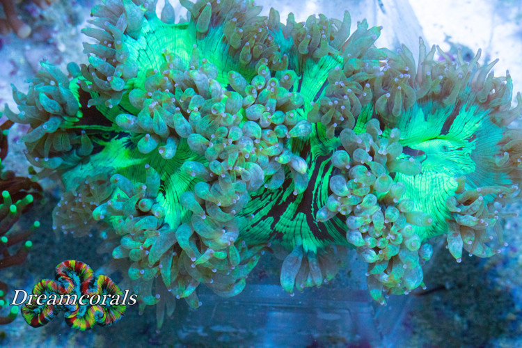 Flower Coral toxic green
