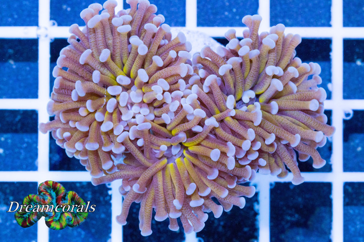Australian Golden Euphillia Torch