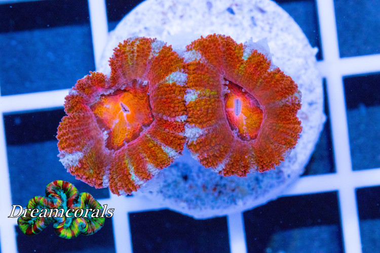 Acanthastrea Lordhovensis Ultra Rainbow