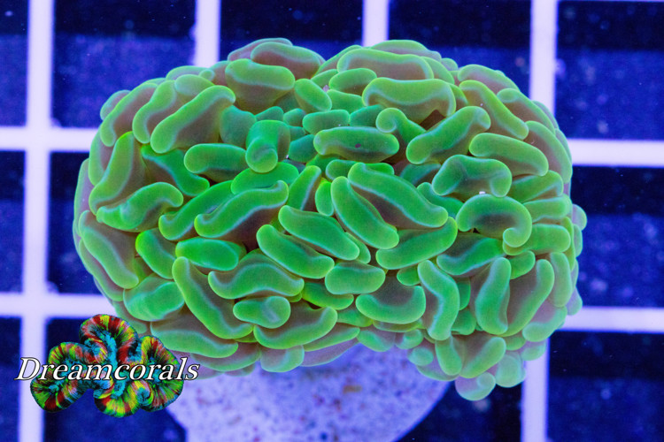 Toxic green Euphyllia Premium color