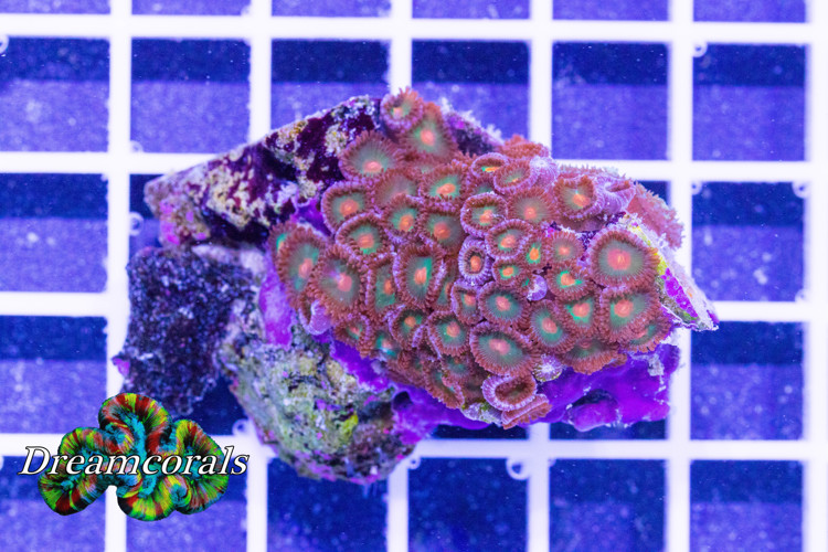 Incredible AKA KO Zoa