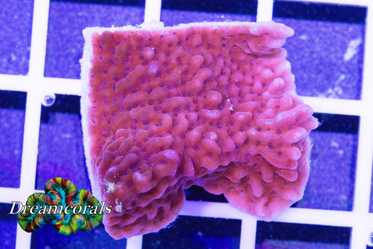 Tyree Bloody Mary Montipora