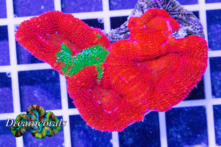 Acanthastrea Bowerbanki Bleeding Apple Ultra