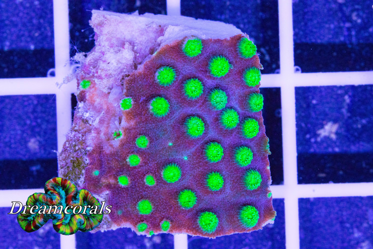 Alien Pox Cyphastrea