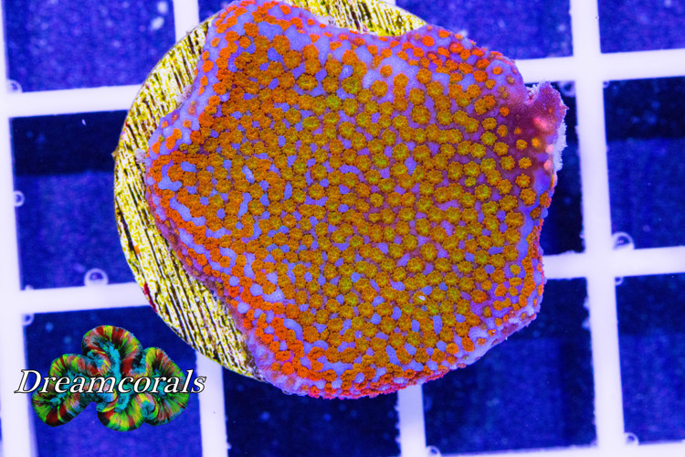 Jason Fox Rainbow  Montipora
