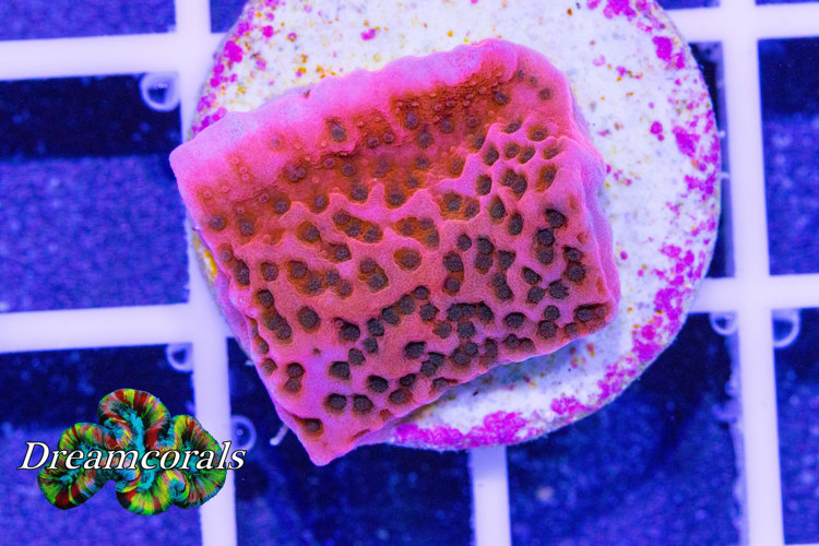 Tropical Tunder Montipora