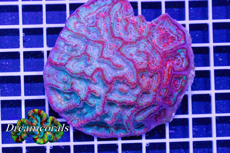 Symphillia Wilsoni Ultra Premium color L