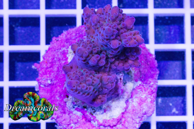 The Unknow Acropora
