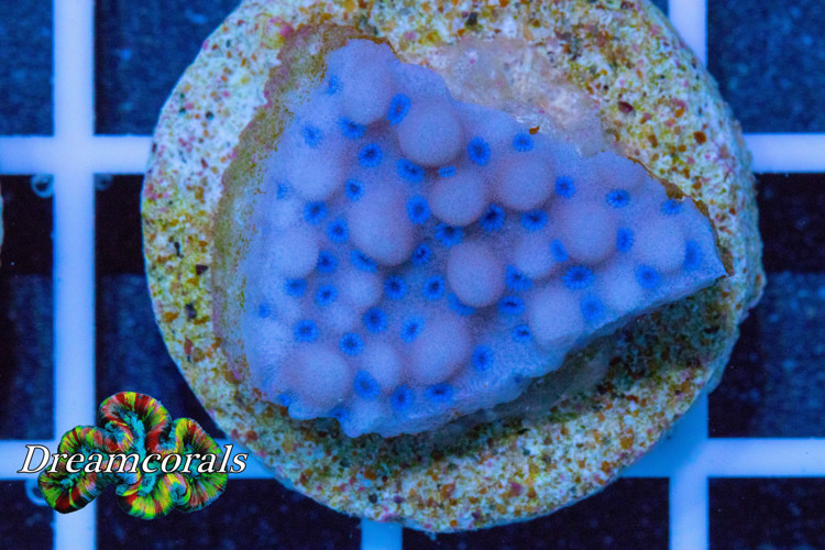 Blueberry Forest Montipora