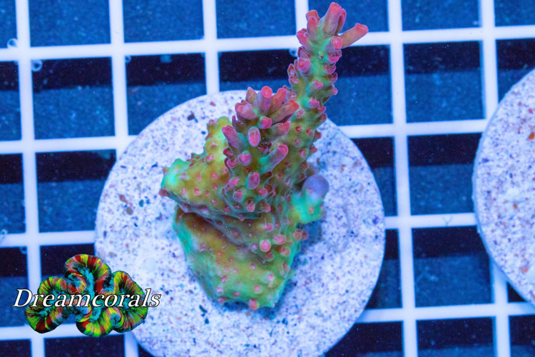 UC Strawberry Shortcake Acropora