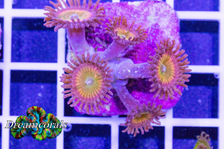 Tyree orange rainbow zoa