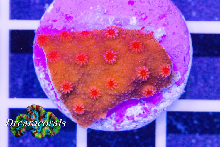 Tyree brick red cyphastrea