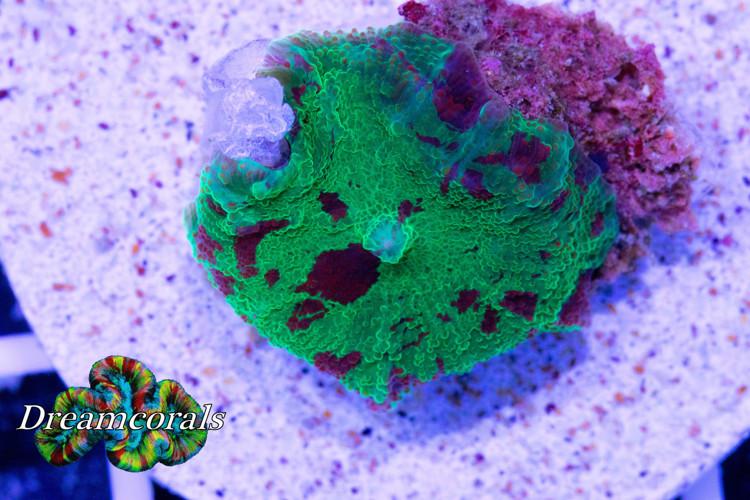 Eclectus Jawbreker Discosoma (3 colors)