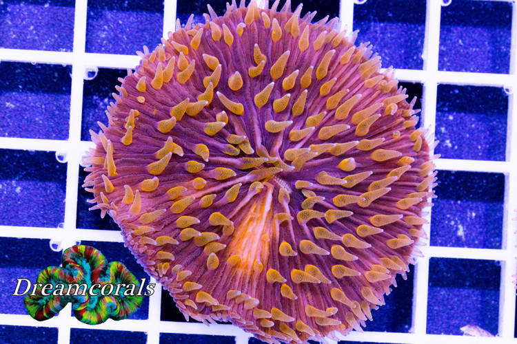 Orange Polyps  Fungia Premium color