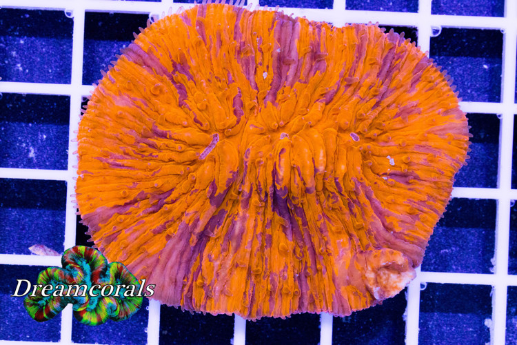 Orange Bleeding Fungia Premium color