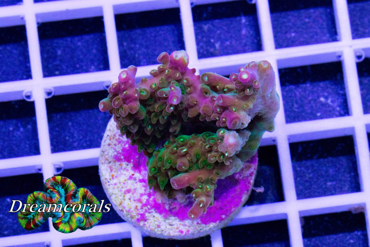 Joe's Mango Garden Acropora (Limited Edition)