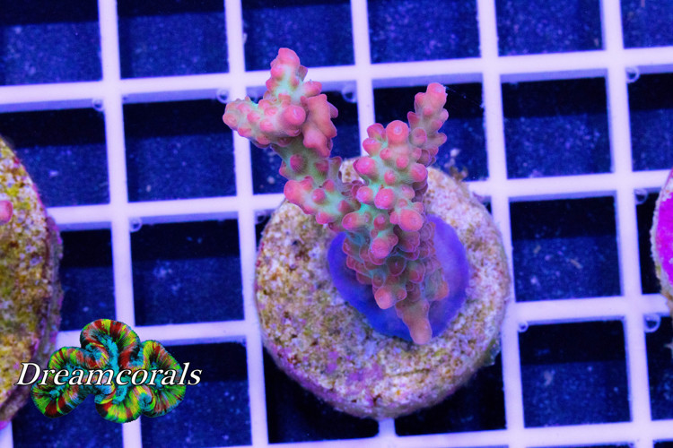 Pink Diamond Acropora