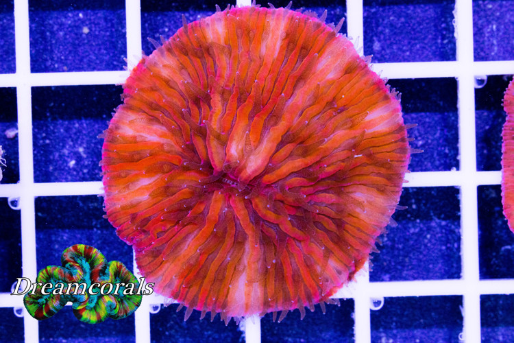Red Fungia Premium color